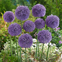Allium Stratos