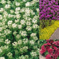 Creeping Sedum Collection