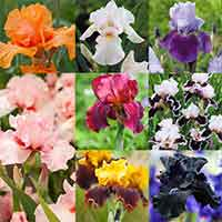 Iris Germanica Collection (Bearded Iris)