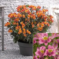 Alstroemeria Collection