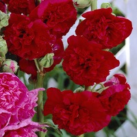 Alcea Rosea Chaters Red