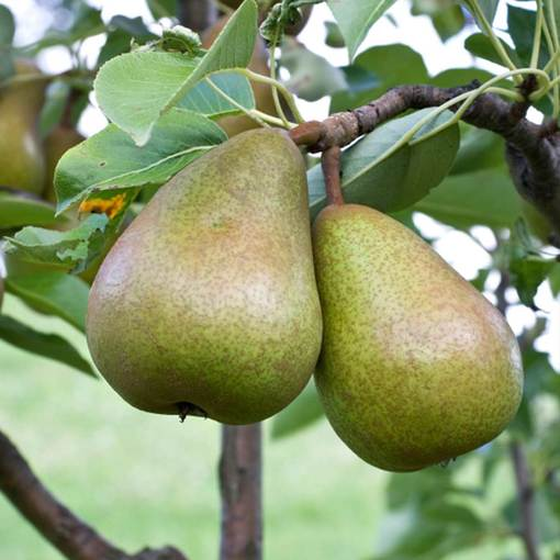 Pear Beurre Hardy