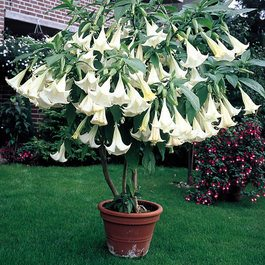 Buy datura white plants j parker dutch bulbs datura white mightylinksfo