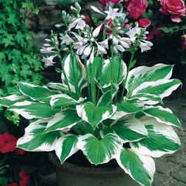 Hosta fortunei Patriot