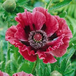 Papaver orientale Brooklyn