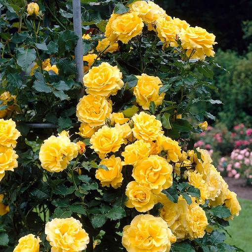 Rose Climbing Golden Showers