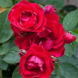Rose Scarlet Queen Elizabeth