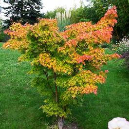 Buy Acer Palmatum Orange Dream J Parker Dutch Bulbs