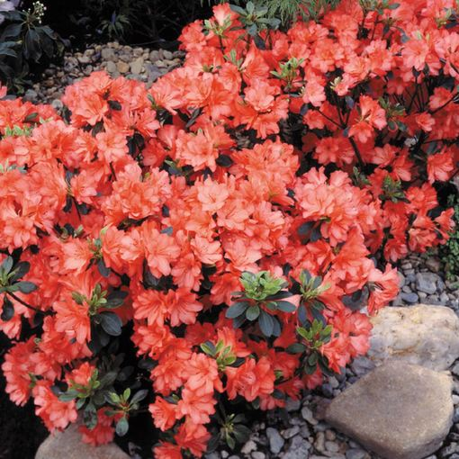 Azalea japonica Diamond Orange