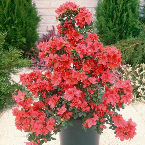Azalea japonica Diamond Red