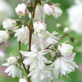 Deutzia Pride of Rochester
