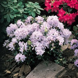 Rhododendron Pink Drift