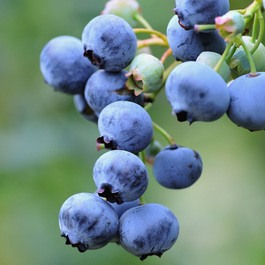 Blueberry (Mid Season Gold Traube)