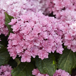 Hydrangea You and Me Together Pink