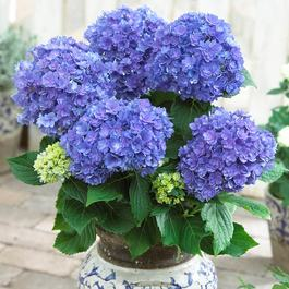 Hydrangea You and Together Blue