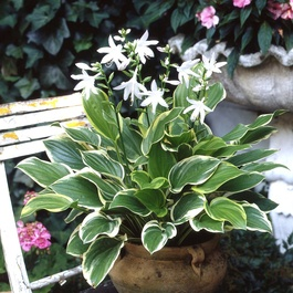 Hosta So Sweet (Fragrant)