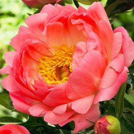 Peony Coral Sunset