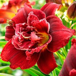 Hemerocallis Double Red Royale