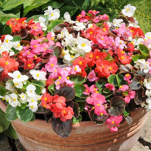 Begonia Semp. Organdy Mixed (Rapid Plugs)