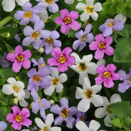 Bacopa mature height