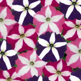Petunia Star Mixed (Maxi Plugs)