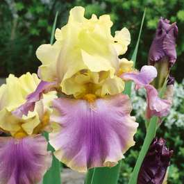 Iris germanica Distant Chimes