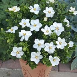 Gardenia Jasminoides Kleims Hardy 13cm Pot Plant J Parker Dutch