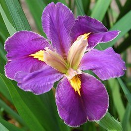 Iris Louisiana Spicy Cajun