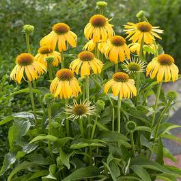 Echinacea Summer Breeze