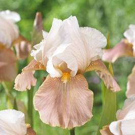 Iris germanica Festive Skirt