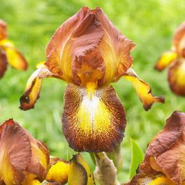 Iris germanica Spreckles