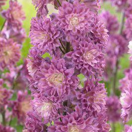Delphinium Highlander Flamenco