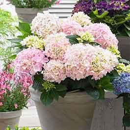 Buy Hydrangea Music Soft Pink Salsa J Parker Dutch Bulbs