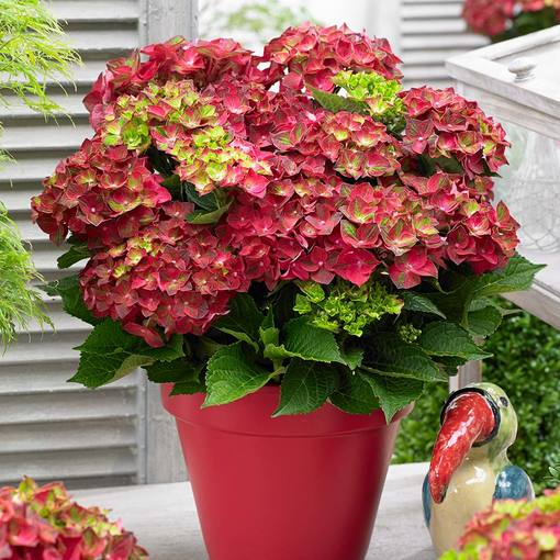 Hydrangea Ruby Tuesday