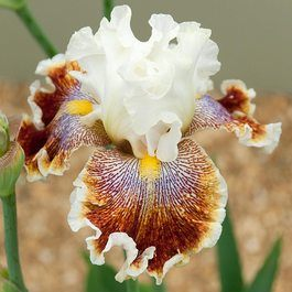 Iris germanica 'Wonders Never Cease'