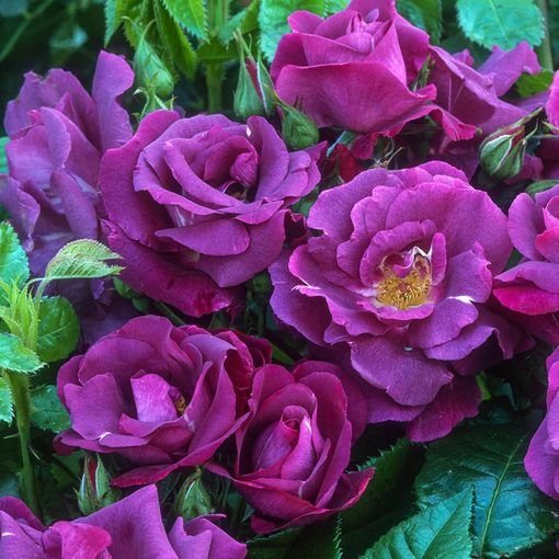 Rose Passion for Purple