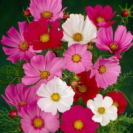 Cosmos Sonata Mixed (Garden Ready)