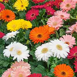 Gerbera Revolution Mix Garden Ready J Parker Dutch Bulbs