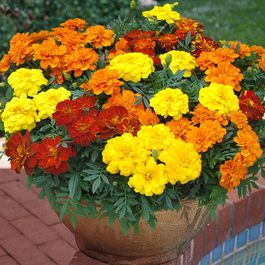 Marigold French Durango Mixed (Garden Ready)