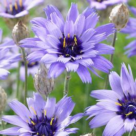 Catananche caerulea Major
