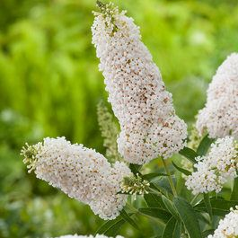 Buddleia White Swan