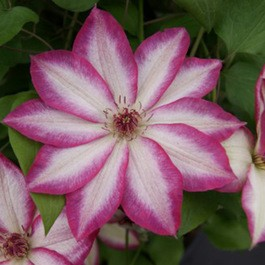 Clematis Picotee