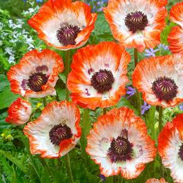 Papaver Pinnacle