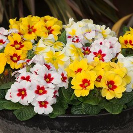 Primrose Splash Mixed