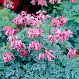 Dicentra Candy Hearts