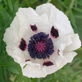Papaver orientale 'Royal Wedding'