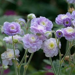 Geranium Summer Skies (7cm module plants)