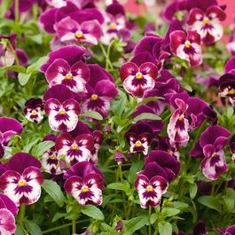Trailing Pansy Cool Wave Raspberry Swirl