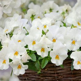 Trailing Pansy Cool Wave White