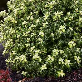 Pittosporum tenuifolium Gold Star